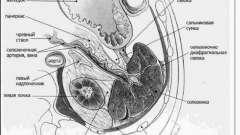 Анатомія селезінки