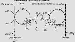 Фізіологія системи фагоцитозу