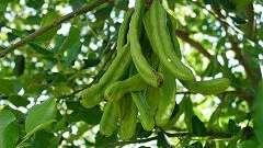 Камедь ріжкового дерева
