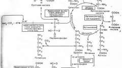 Порушення метаболізму амінокислот - цикл сечовини і гипераммониемия - спадкові і вроджені хвороби плода та новонародженого