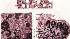 Органи кровотворення - основи гістології