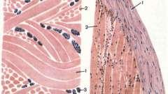 Щільна волокниста сполучна тканина - основи гістології