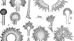Рід аспергилл - токсінобразующіе мікроскопічні гриби