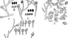 Рід стахіботріс - токсінобразующіе мікроскопічні гриби