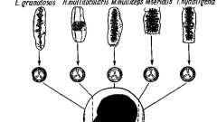 Теніїдози, при яких хижі ссавці є остаточними господарями - теніати - стрічкові гельмінти