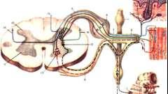 Вегетативна нервова система - дитяча неврологія