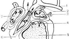 Вроджена відсутність міокарда правого шлуночка, загальний предсердно-шлуночковий канал, атрезія мітрального клапана, тристулкового клапана, інверсія камер серця - клінічна анатомія серця